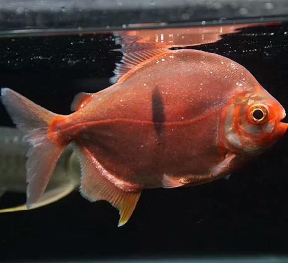 分宜玫瑰银版鱼 分宜水族新品 分宜龙鱼第2张