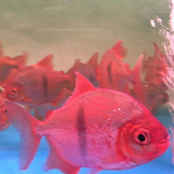 分宜玫瑰银版鱼 分宜水族新品 分宜龙鱼第3张