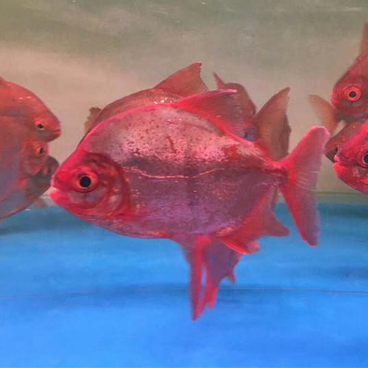 分宜玫瑰银版鱼